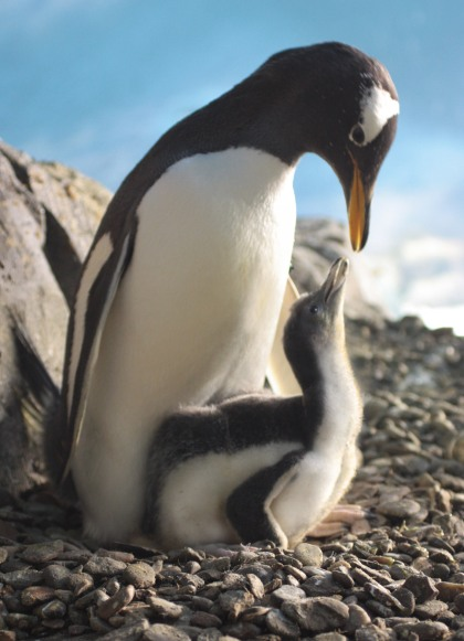 madre_pinguino_y_cria